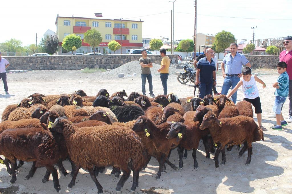 Karakoyunlu ilçesinde  genç çiftçilere 185 koyun dağıtıldı