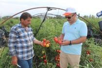 Iğdır Ovası'nda karpuz ve domates hasadı devam ediyor