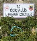 Kenevir bitkisi yetiştirdiği tespit edilen Eve Baskın