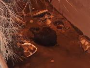 Yolunu Şaşıran Su Samuru Su kanalında mahsur kaldı