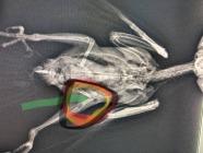 Bacağı Kırılan Papağana Pin Uygulaması Yapıldı