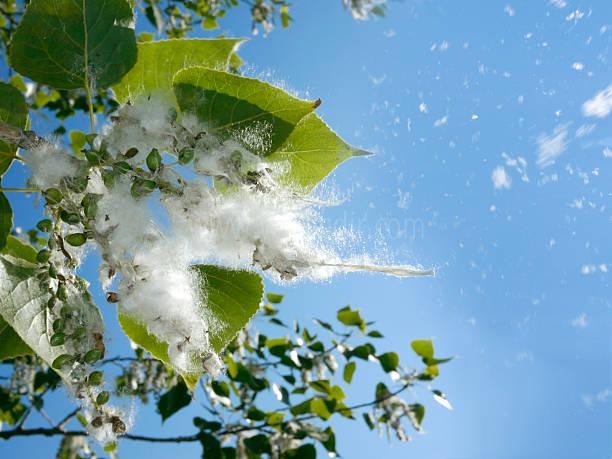 Iğdır'ı kavak poleni sardı